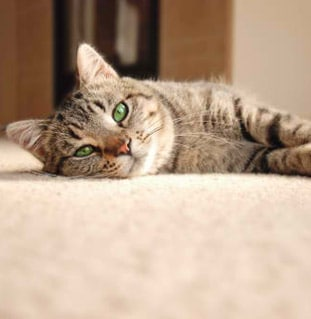 blogthumb-image-cat-carpet