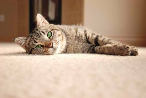 blog-image-cat-carpet